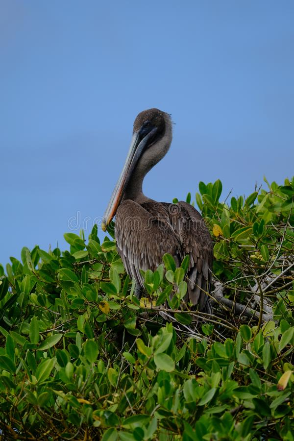 Vertical shot brown pelican sitting on a tree with blue sky in the background royalty free stock photo
