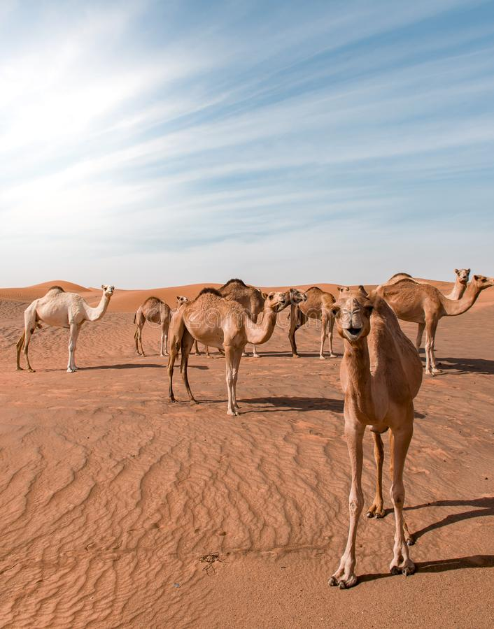 Vertical shot of camels walking around a desert with sand dunes in the distance. A vertical shot of camels walking around a desert with sand dunes in the royalty free stock photo
