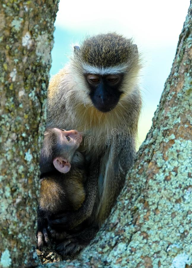 Vertical shot of a cute baby monkey near its mother on a tree with blurred background. A vertical shot of a cute baby monkey near its mother on a tree with stock photography