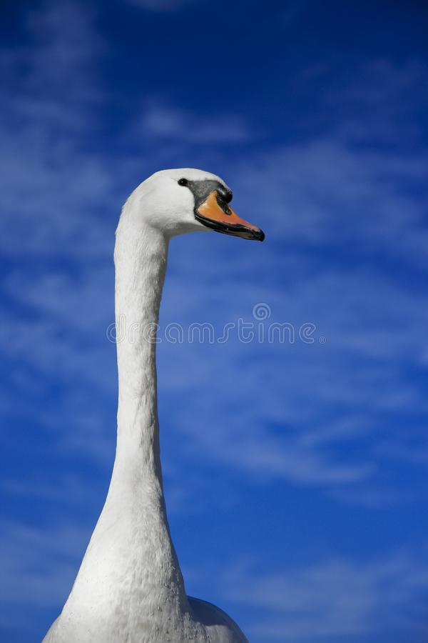 Vertical shot of a cute swan with a blurred blue sky in the background. A vertical shot of a cute swan with a blurred blue sky in the background stock photos