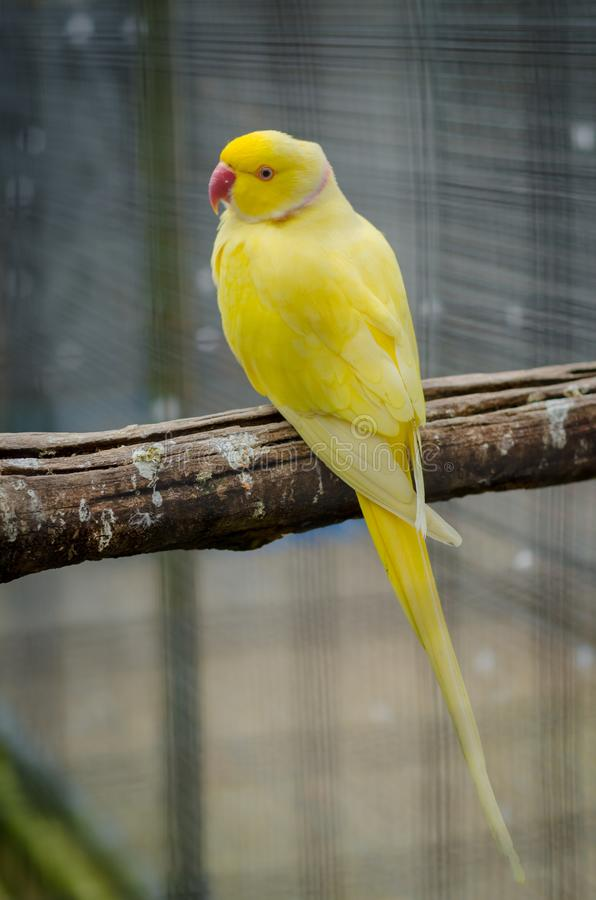Vertical shot of a cute yellow Budgerigar parrot sitting on a wooden stick with blurred background royalty free stock photos