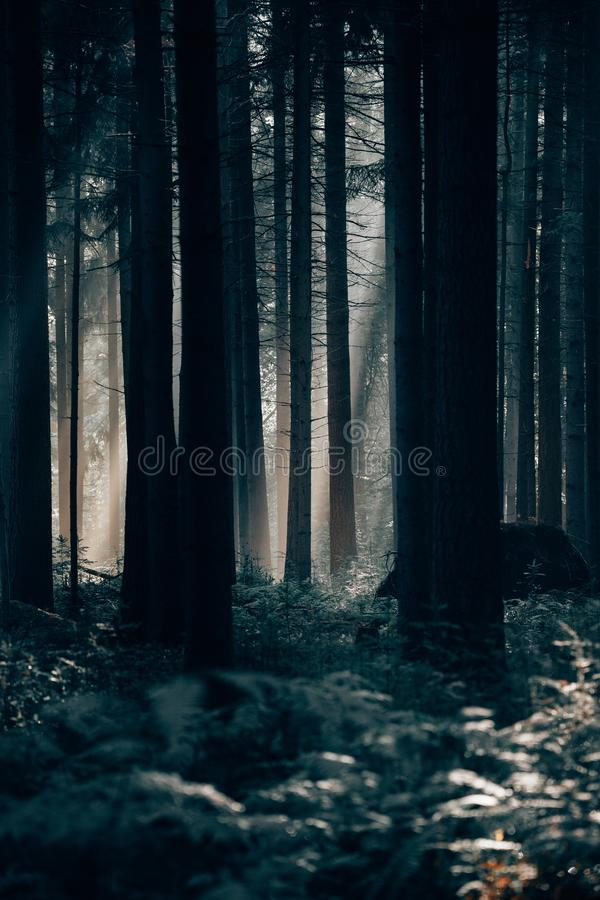 Vertical shot of a dark mysterious forest with tall thick trees. A vertical shot of a dark mysterious forest with tall thick trees and a little sunlight shining royalty free stock photography
