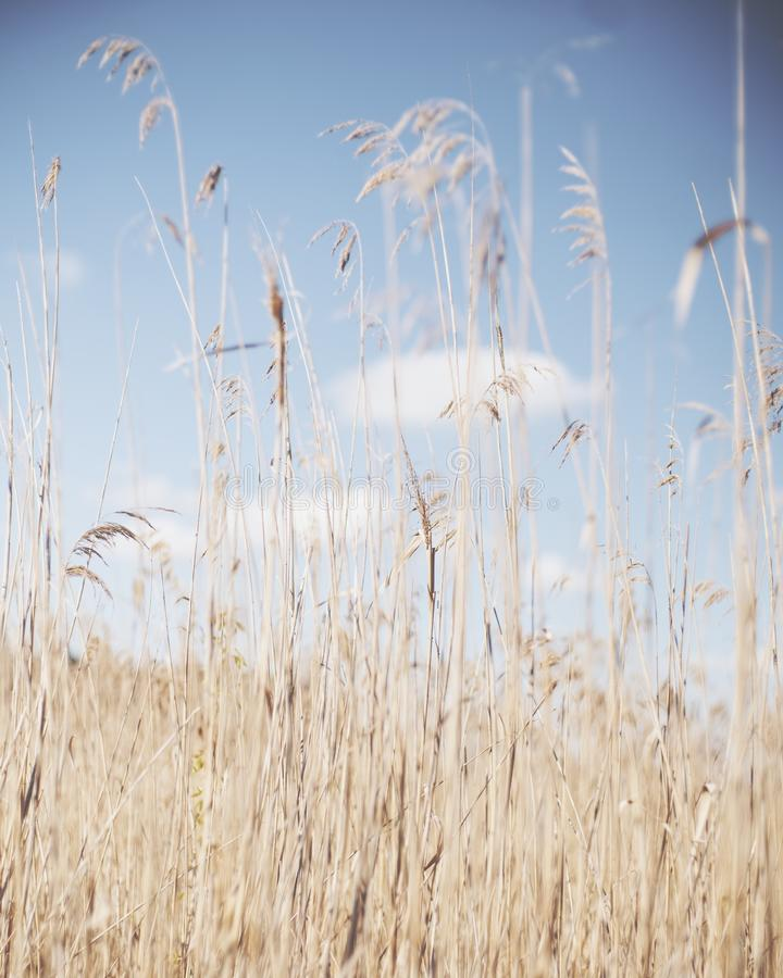 Vertical shot of dry reeds in a dry grassy field with a blurred background. A vertical shot of dry reeds in a dry grassy field with a blurred background royalty free stock photo