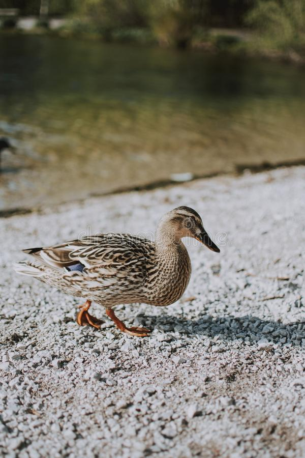 Vertical shot of a duckling walking on the sand near a river. A vertical shot of a duckling walking on the sand near a river royalty free stock images