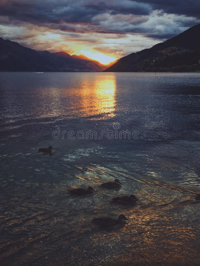 Vertical shot of ducks swimming in water with the reflection of the sunset with cloudy sky royalty free stock images