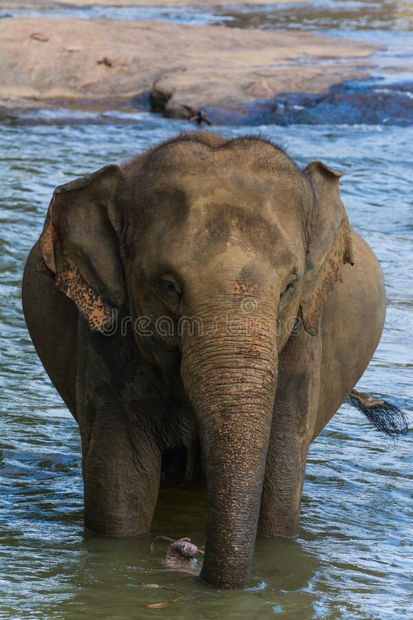 Vertical shot of an elephant standing in the water. A vertical shot of an elephant standing in the water stock photography