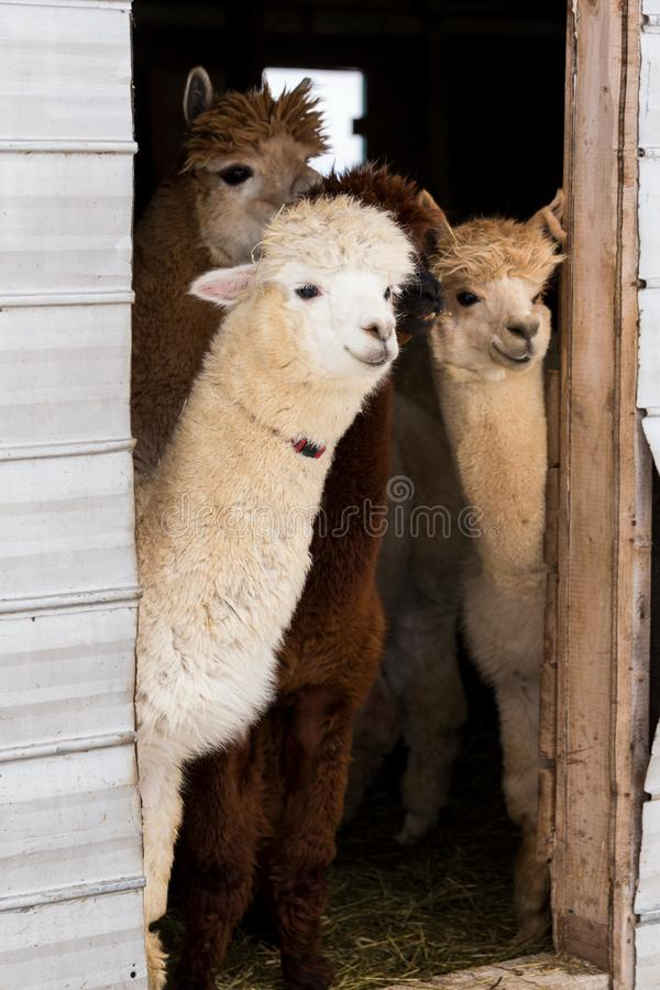 Vertical shot of four cute cream or brown alpacas standing peeking curiously. From the open door of their barn, Pont-Rouge, Quebec, Canada stock photography