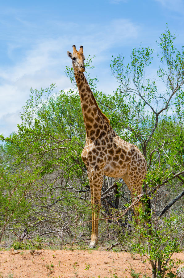 Vertical Shot of Giraffe. In the wild standing close to trees royalty free stock photo