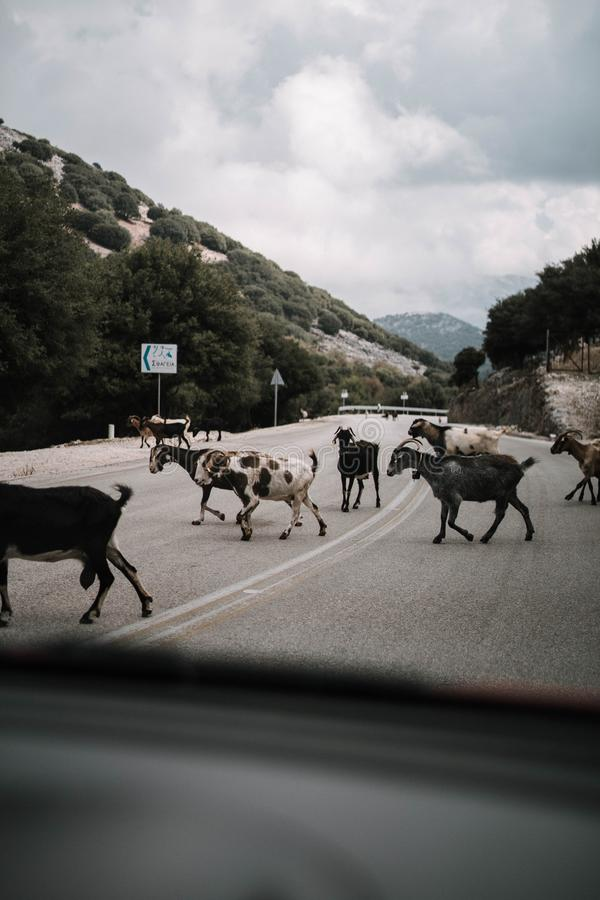 Vertical shot of a goat herd crossing the street in the countryside. A vertical shot of a goat herd crossing the street in the countryside royalty free stock images