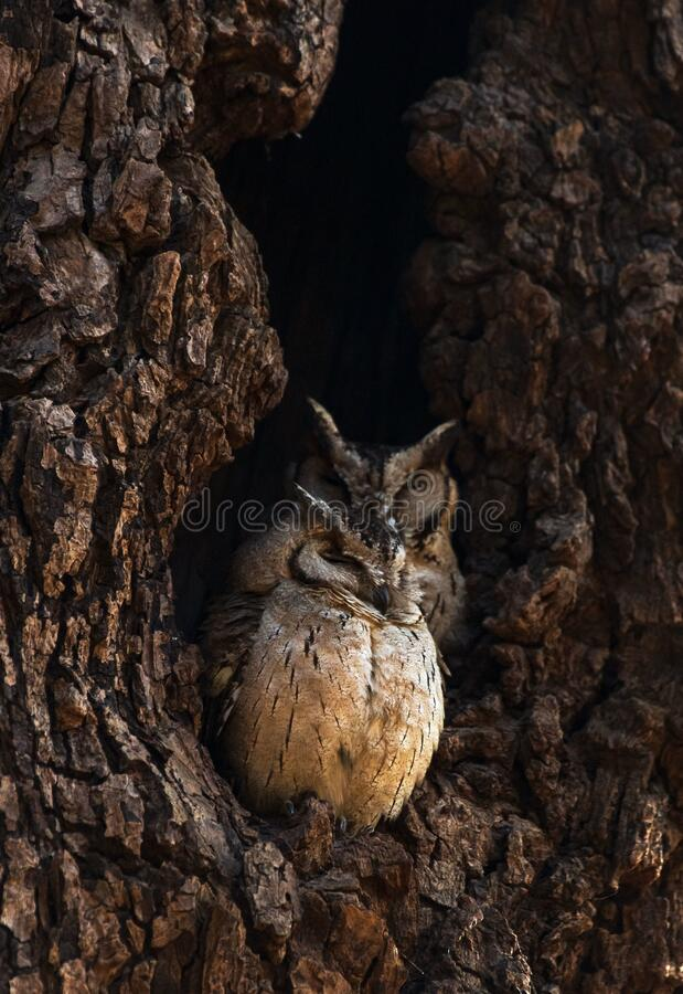 Vertical shot of an Indian Scops Owl in Ranthambhore National Park, India. A vertical shot of an Indian Scops Owl in Ranthambhore National Park, India royalty free stock photos