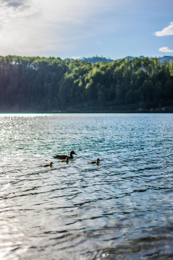 Vertical shot of a lake with a mother duck and her duckling swimming in the water. A vertical shot of a lake with a mother duck and her duckling swimming in the stock photos
