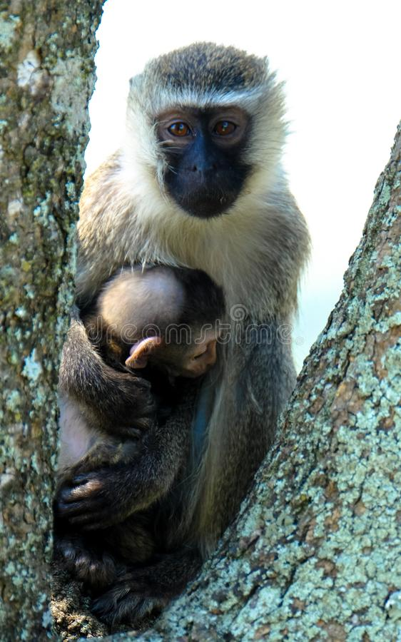 Vertical shot of a monkey hugging its baby on a tree with blurred background. A vertical shot of a monkey hugging its baby on a tree with blurred background royalty free stock image