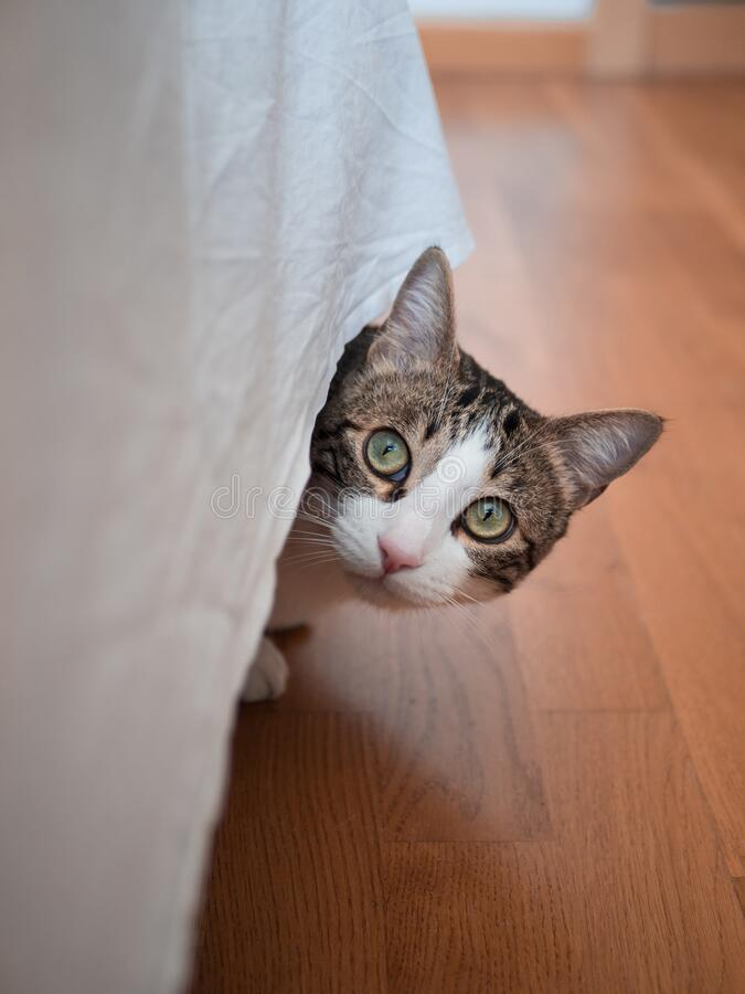 Free Vertical Shot Of A Cute Cat With A Surprised Facial Expression Hiding Under A Tablecloth Royalty Free Stock Photo - 170928305