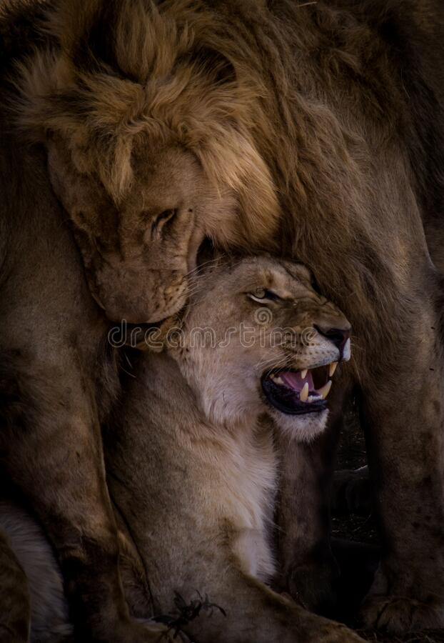 Free Vertical Shot Of A Lioness And Male Lion In South Africa Royalty Free Stock Image - 190904906