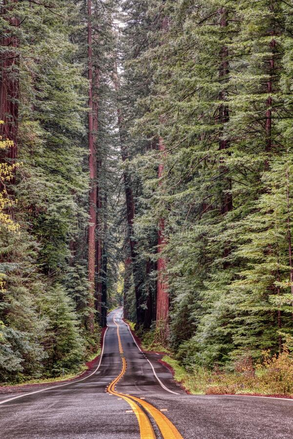 Free Vertical Shot Of A Road Surrounded By Tall Trees In The Avenue Of The Giants In California Stock Photos - 183005633