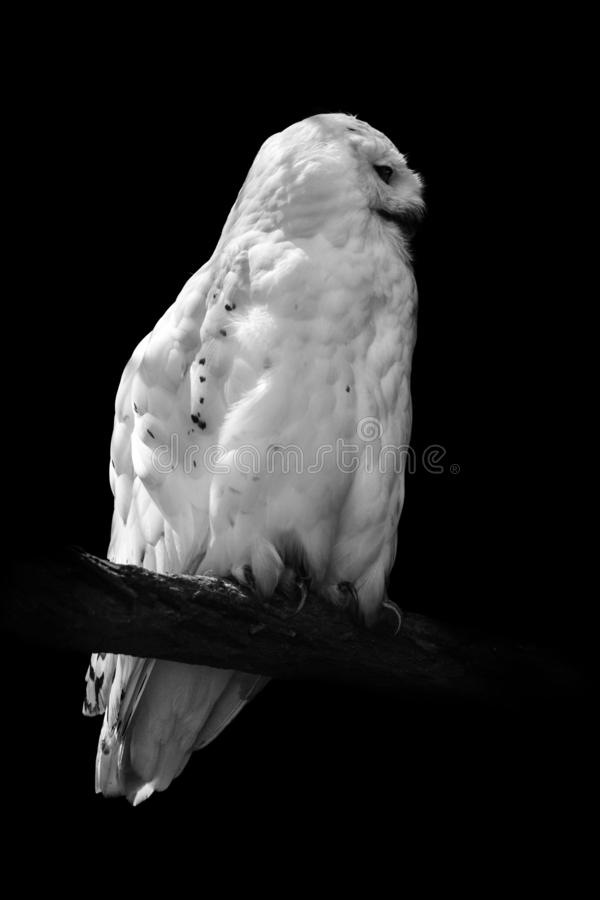 Vertical shot of an owl sitting on a branch in black and white. A vertical shot of an owl sitting on a branch in black and white stock photos