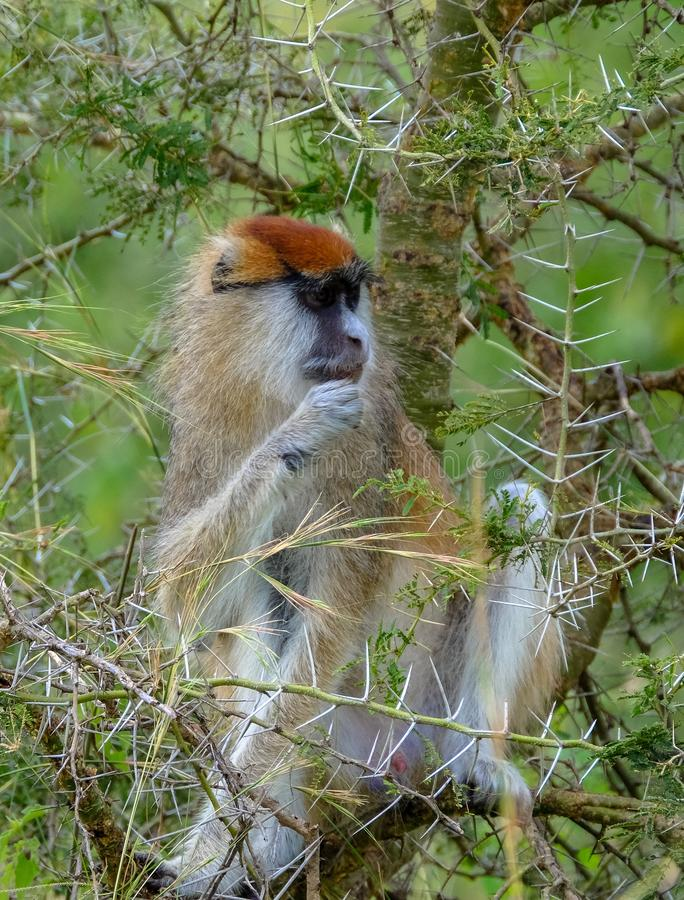 Vertical shot of patas monkey sitting on a tree with blurred natural background. A vertical shot of patas monkey sitting on a tree with blurred natural stock photos