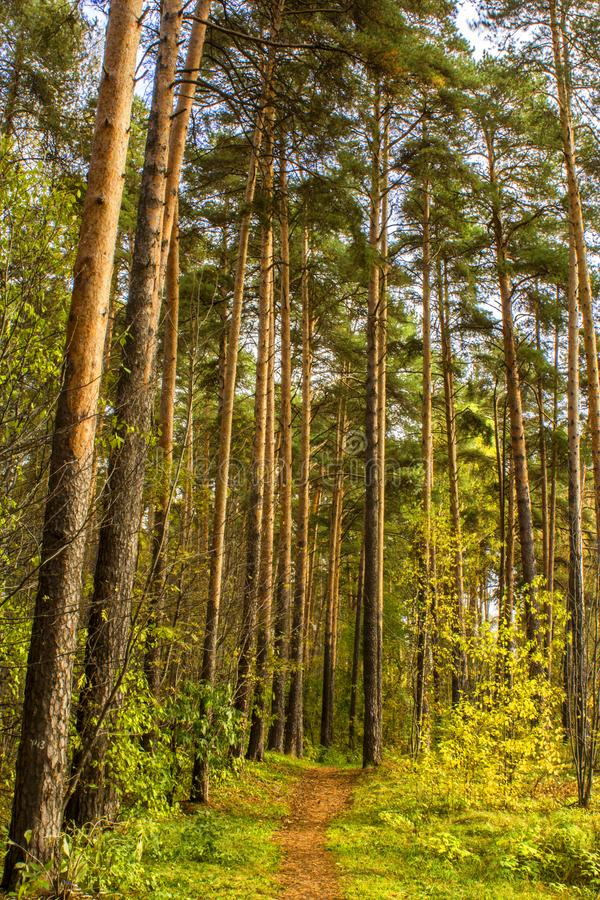 Vertical shot of a path in a pine forest. tall trees. foliage. autumn. Landscape royalty free stock images
