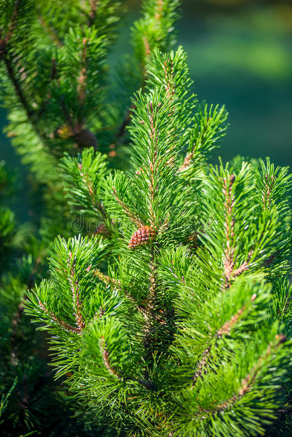 Vertical shot of pine branch with a cone. Vertical shot of pine branch with a young cone royalty free stock photo