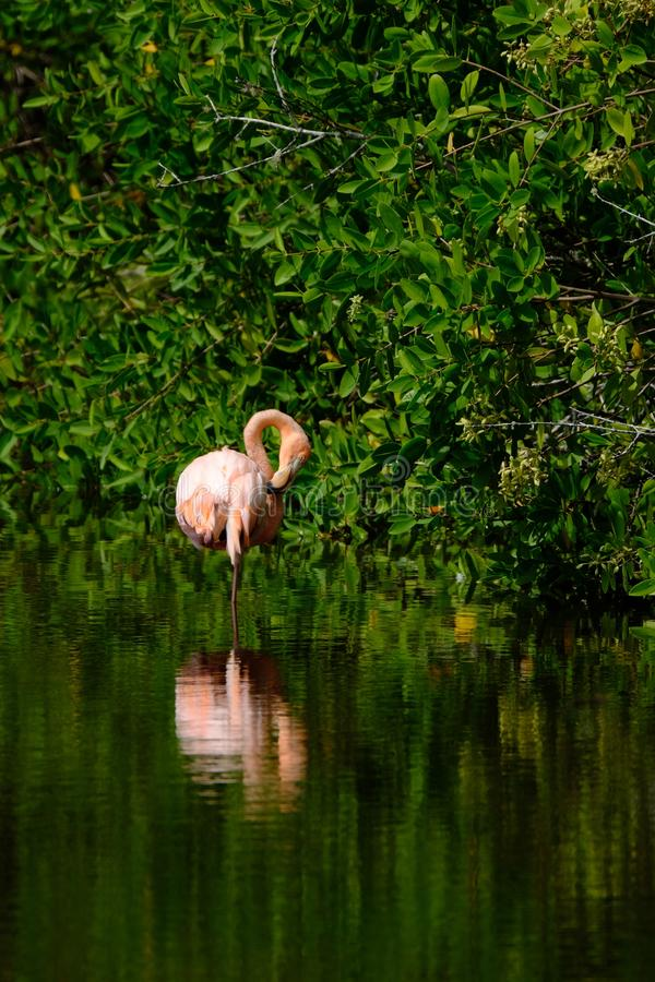 Vertical shot of a pink flamingo standing in water near the trees. A vertical shot of a pink flamingo standing in water near the trees royalty free stock photos