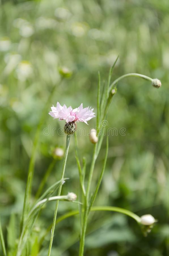 Vertical shot of pink knapweeds in the meadow.Beautiful wildflowers in the field royalty free stock image