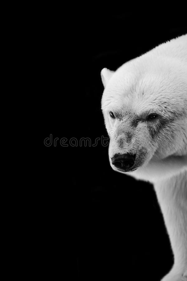 Vertical shot of a polar bear with a black background. A vertical shot of a polar bear with a black background stock photography