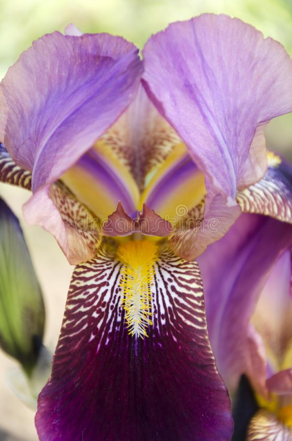Vertical shot of purple iris in the garden.Spring flowers stock photography