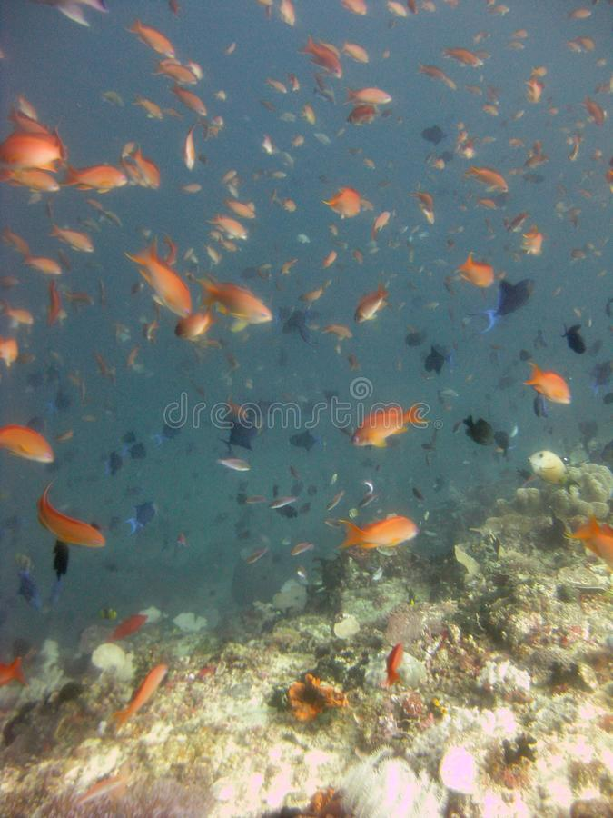 Vertical shot of a school of red and black fish swimming underwater near coral reefs stock image