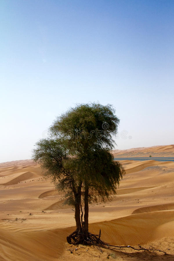 Vertical shot of a single green tree in a desert in Dubai, UAE.  stock images