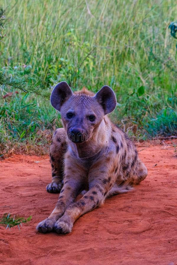 Vertical shot of spotted hyena laying on the ground and looking at the camera near a grassy field. A vertical shot of spotted hyena laying on the ground and royalty free stock photography