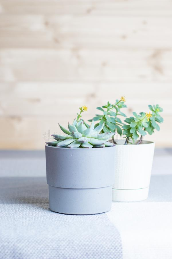 Vertical shot, suculents in pots, home interior, minimal style and soft colors, smartphone background. Different succulents in simple white and grey plastic pots stock image
