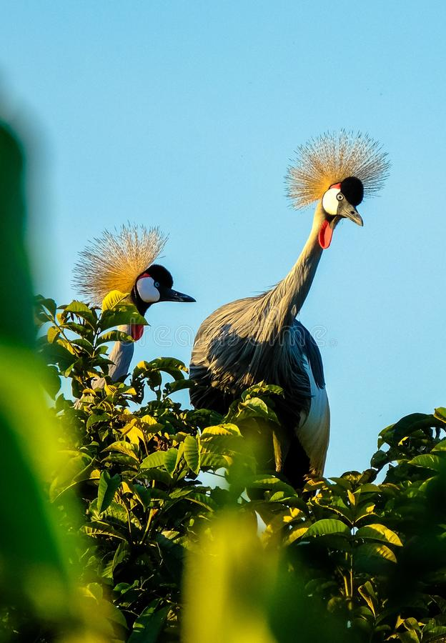 Vertical shot of two crowned crane birds standing on top of a tree on a sunny day. A vertical shot of two crowned crane birds standing on top of a tree on a royalty free stock image