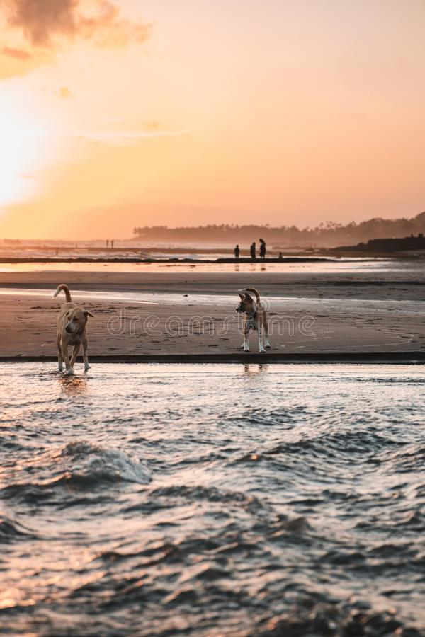 Vertical shot of two dogs playing at the coast of the sea during sunset royalty free stock photography