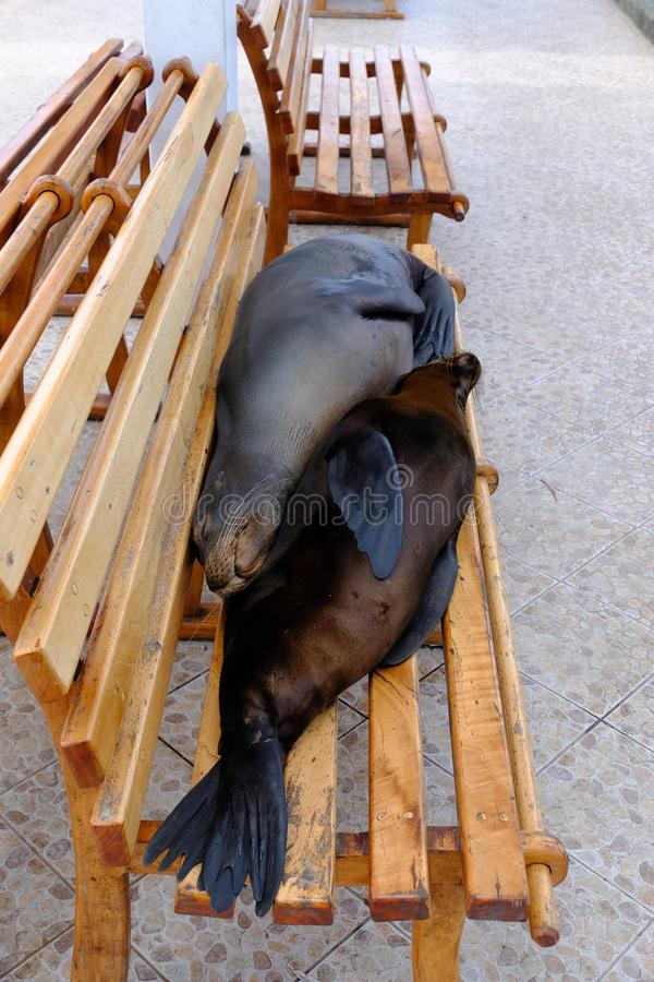 Vertical shot of two sea lions laying in a wooden bench. A vertical shot of two sea lions laying in a wooden bench stock photo