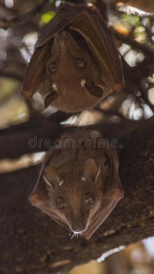 Vertical Shot of TwoEast African Epauletted Fruit Bats stock images