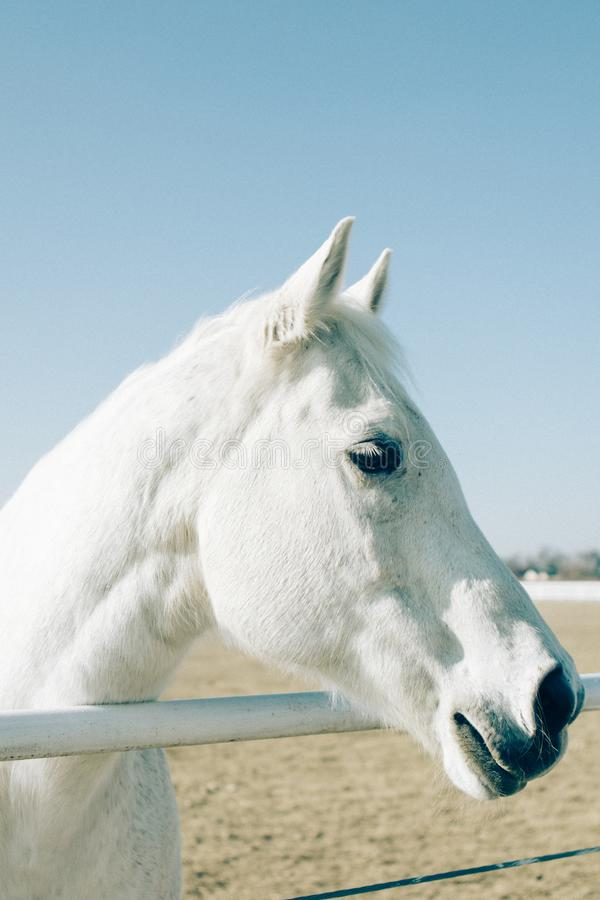 Vertical shot of a white beautiful horse standing closeup to a metal railing at a ranch. A vertical shot of a white beautiful horse standing closeup to a metal stock image