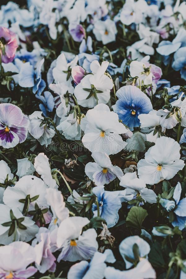 Vertical shot of white and blue pansy flower field with a blurred background royalty free stock image