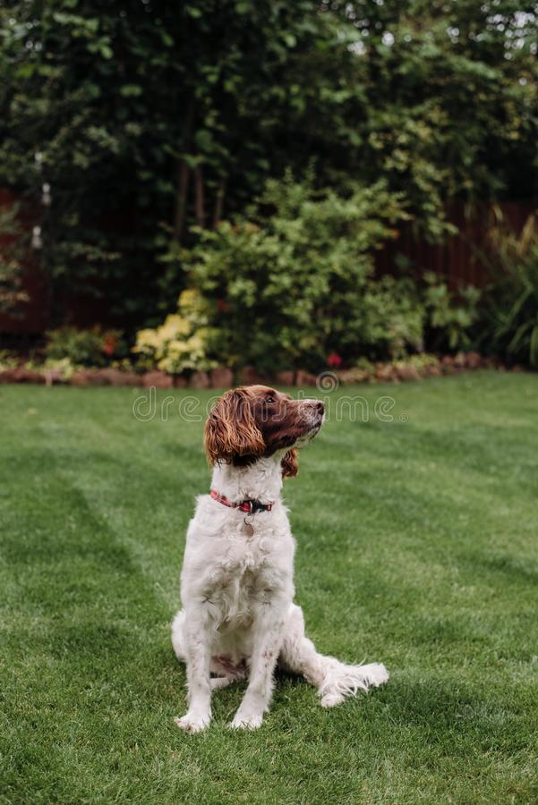 Vertical shot of a white and brown dog with red leash on green grass looking to the side. A vertical shot of a white and brown dog with red leash on green grass stock image