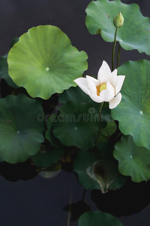 Vertical shot of a white water lily near green leaves. A vertical shot of a white water lily near green leaves royalty free stock photos