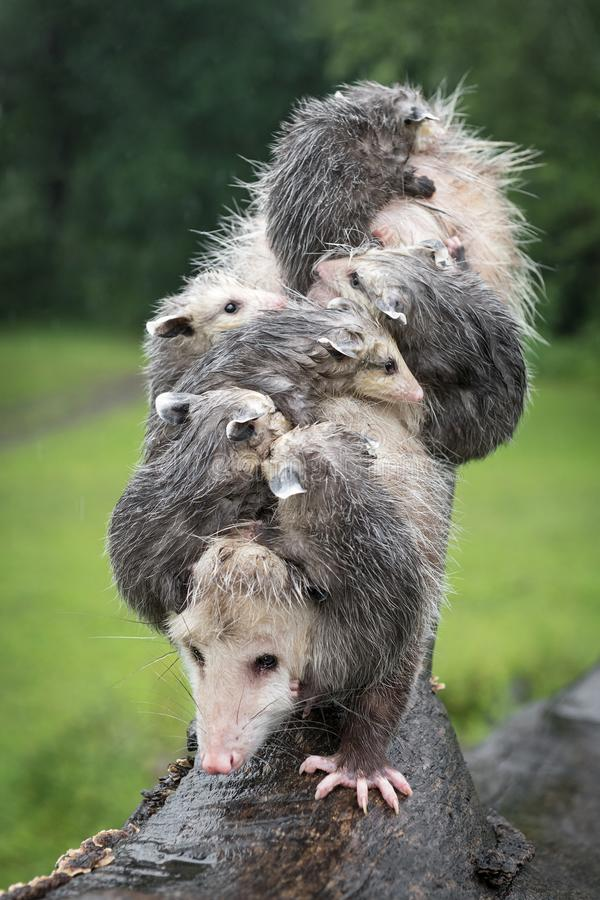 Vertical Stack of Virginia Opossum Didelphis virginiana and Rain Soaked Joeys Summer. Captive animals stock image