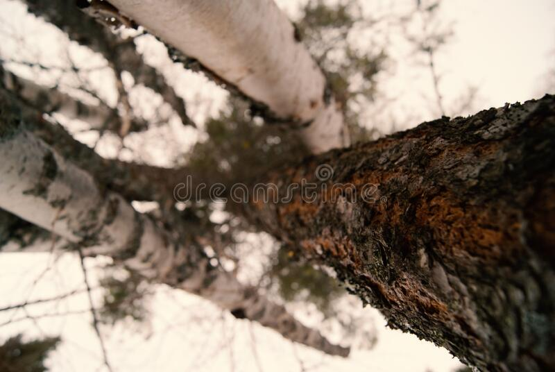 Vertical Trees royalty free stock photos