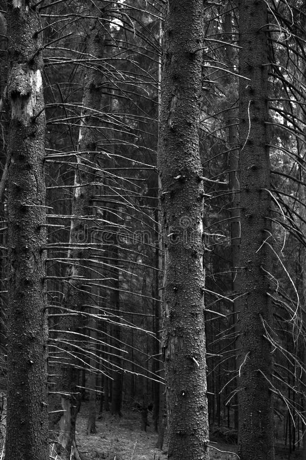 Vertical trees. Black and white photo with trees in winter season royalty free stock image