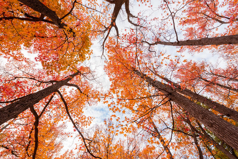 Vertical Trees. Vertical view of tall tree with orange and read leaves during fall royalty free stock photography