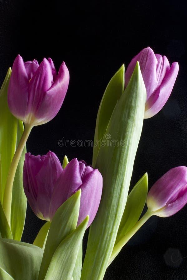 Vertical Tulips stock image