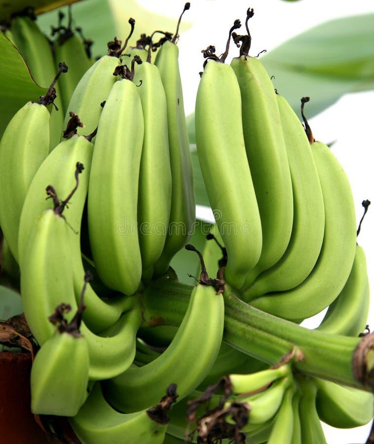 Vertical verde 2 de los plátanos imagenes de archivo