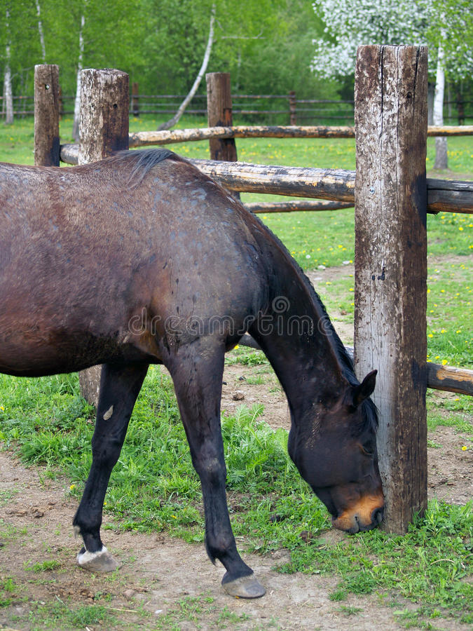 Download Black Horse Eating Grass At Ranch Stock Photo - Image of corral, ranch: 29829312