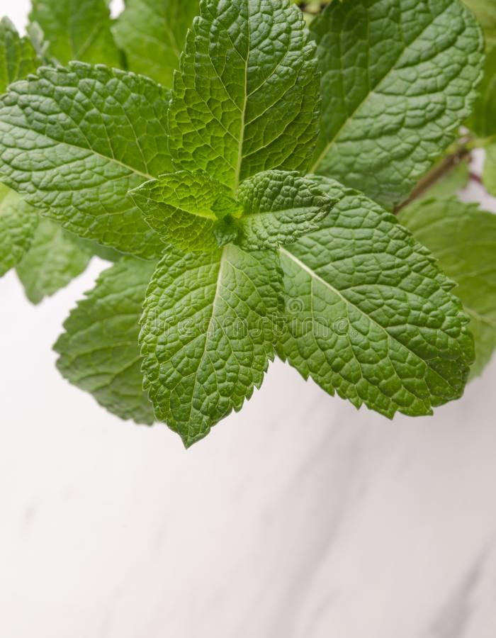 Vertical View Fresh Mint Plant stock photography