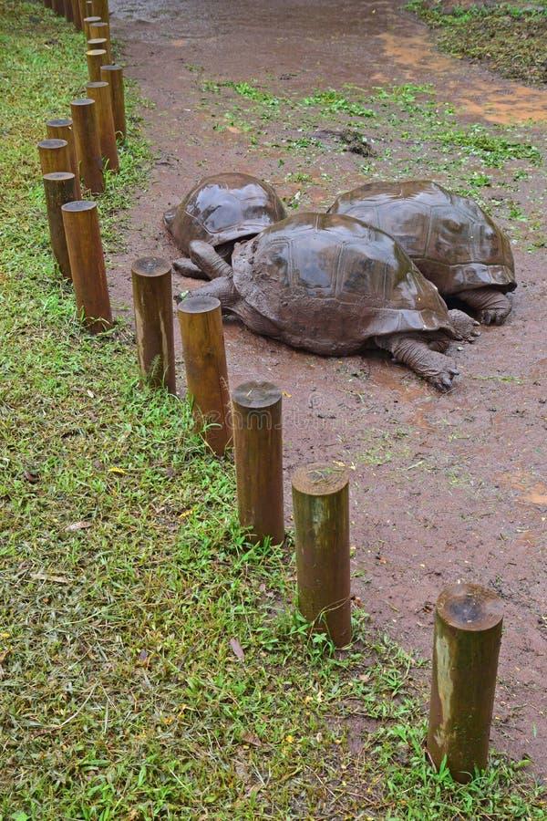 Vertical View of three Aldabra giant tortoises in focus on a rainy day stock photos