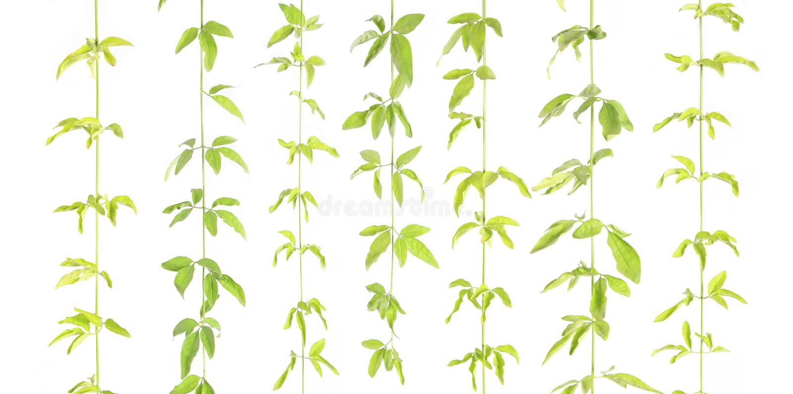 Vertical Vine Royalty Free Stock Image