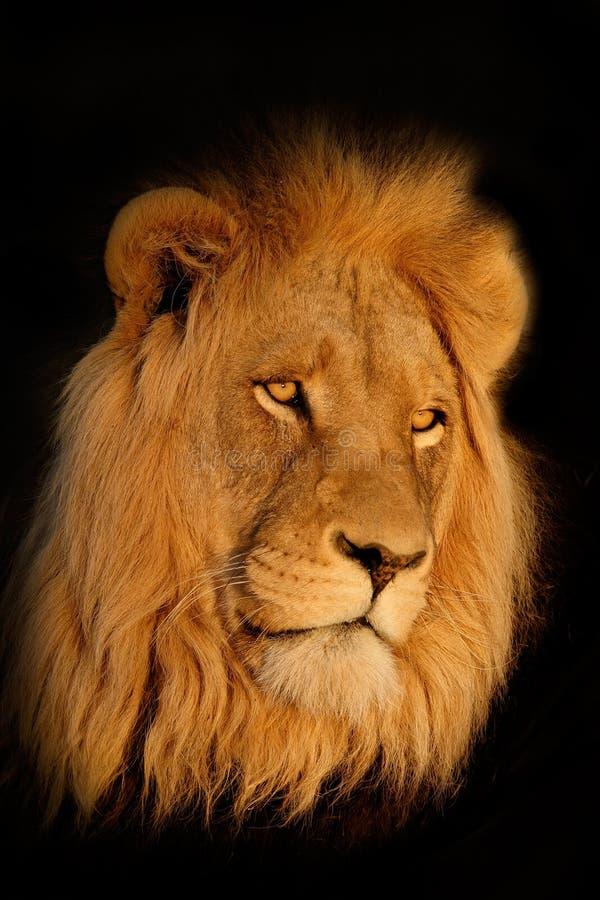 Verticale africaine de lion image libre de droits